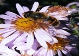 bee_flower_honey