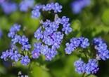 flower_blue_close