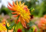 flower_dahlia_garden_plant
