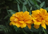 flower_orange_drop