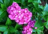 flower_pink_garden
