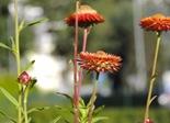 flower_red_italicum