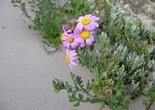 flower_wild_flower_beach