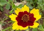 flower_yellow_red