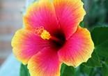 hibiscus_flower_186938