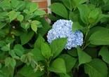 hydrangea_blue_hydrangea_blue_flower