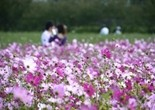 in_love_cosmos_flower_garden