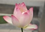 lotus_pink_lotus_flower