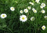 meadow_flower_daisy