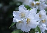 mock_orange_blossoms