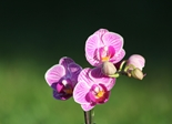 orchid_flower_purple