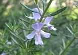 ornamental_rosemary_flower_196771