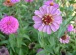 pink_flower_183647