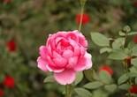 pink_flower_187914