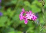 pink_forest_flower_185410