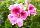 purple_flower_geranium_flowers