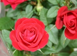 rose_flower_flowers