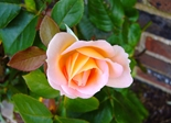 rose_rosebud_flower