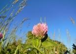 trifolium_pratense_clover_flower_red_clover