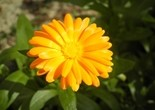 flower_yellow_garden