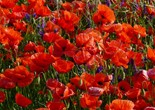 flowers_poppy_red_flower