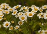 feverfew_flower_white