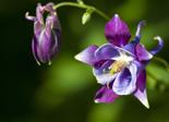 columbine_flower_plant
