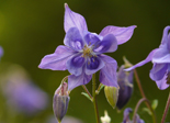 common_akelei_columbine_flower